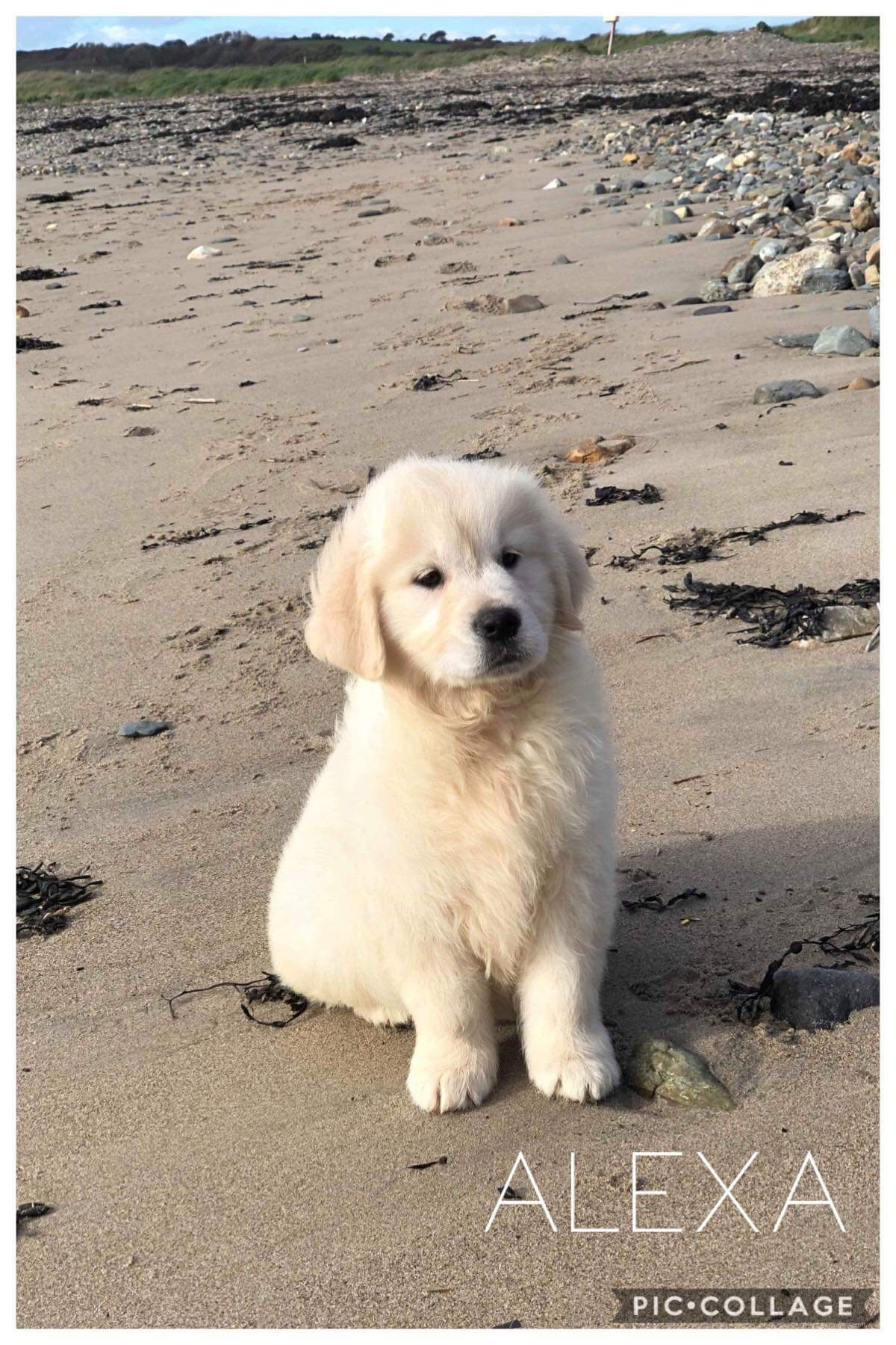 Available Puppies Syrah Goldens
